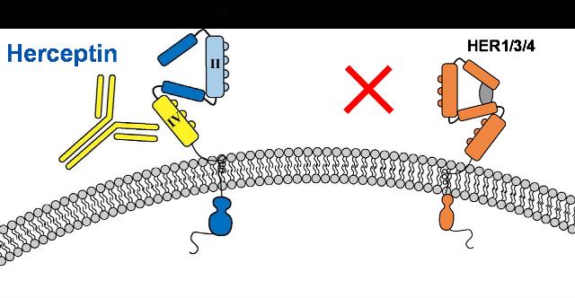 Trastuzumab courtesy Dr AB